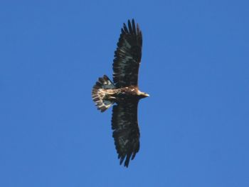 Aquila reale femmina in volo