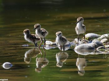 Young black-winged stilts